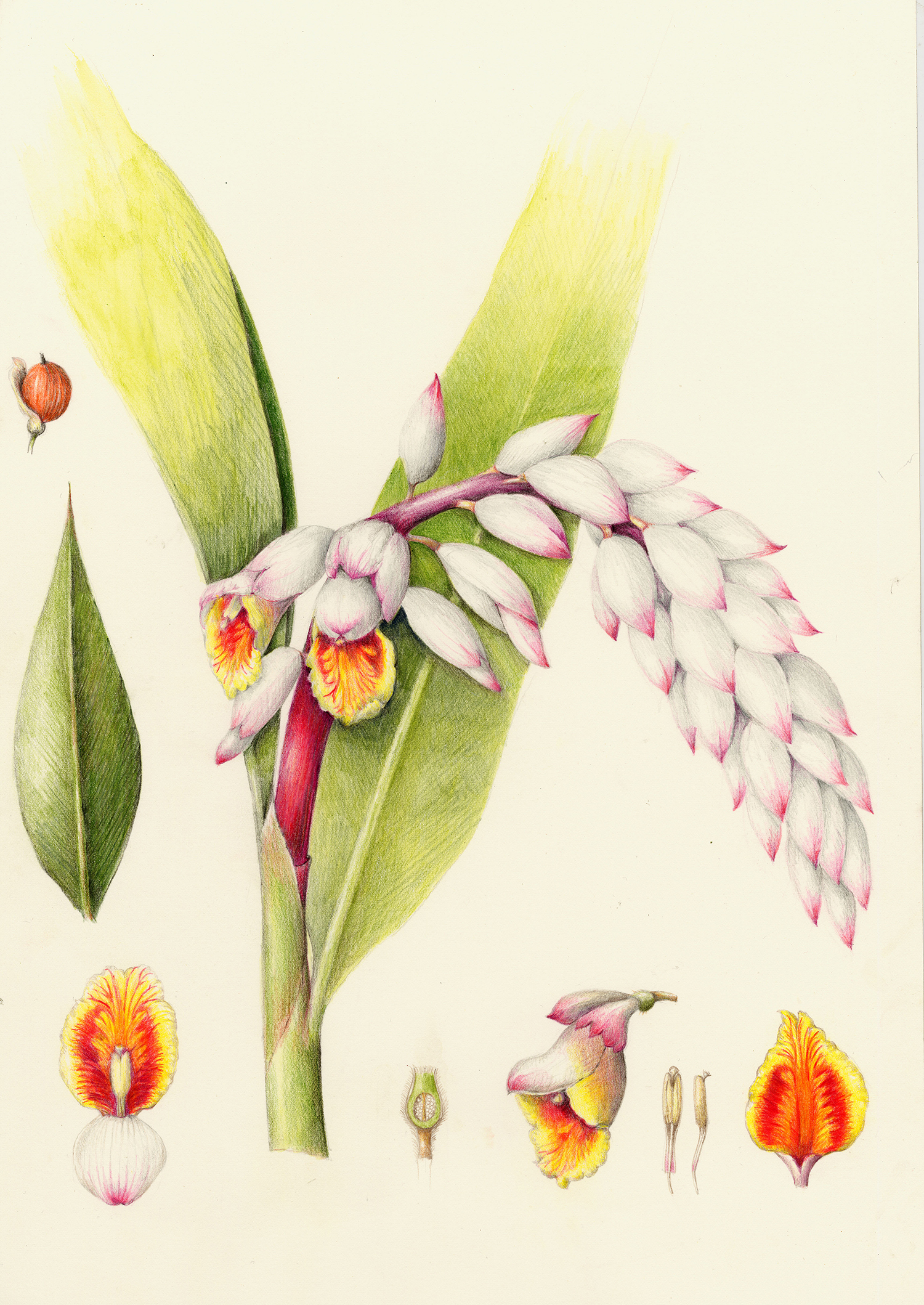 Shell Ginger - Alpina zerumbet