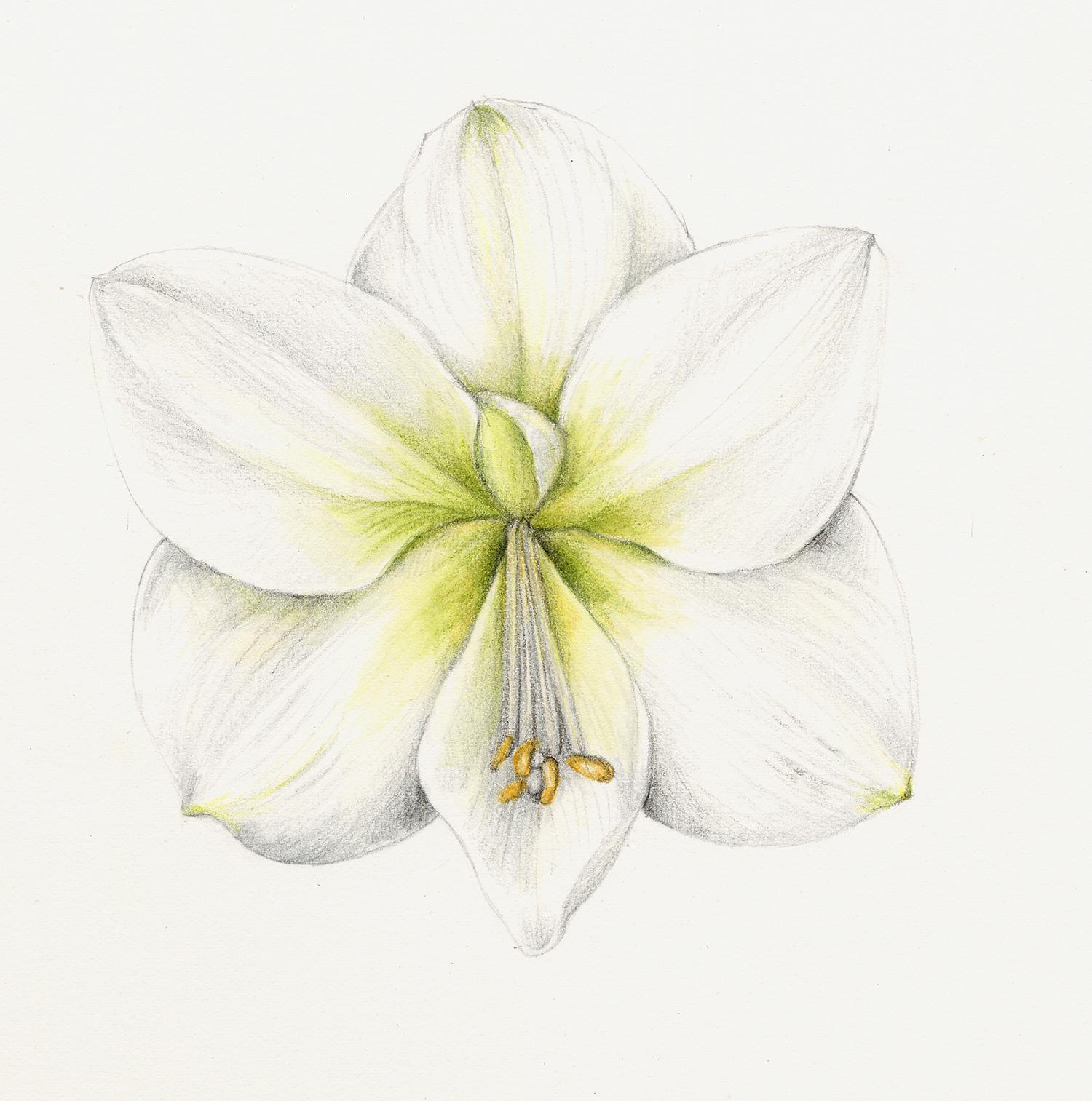White Amaryllis - Amaryllis belladonna