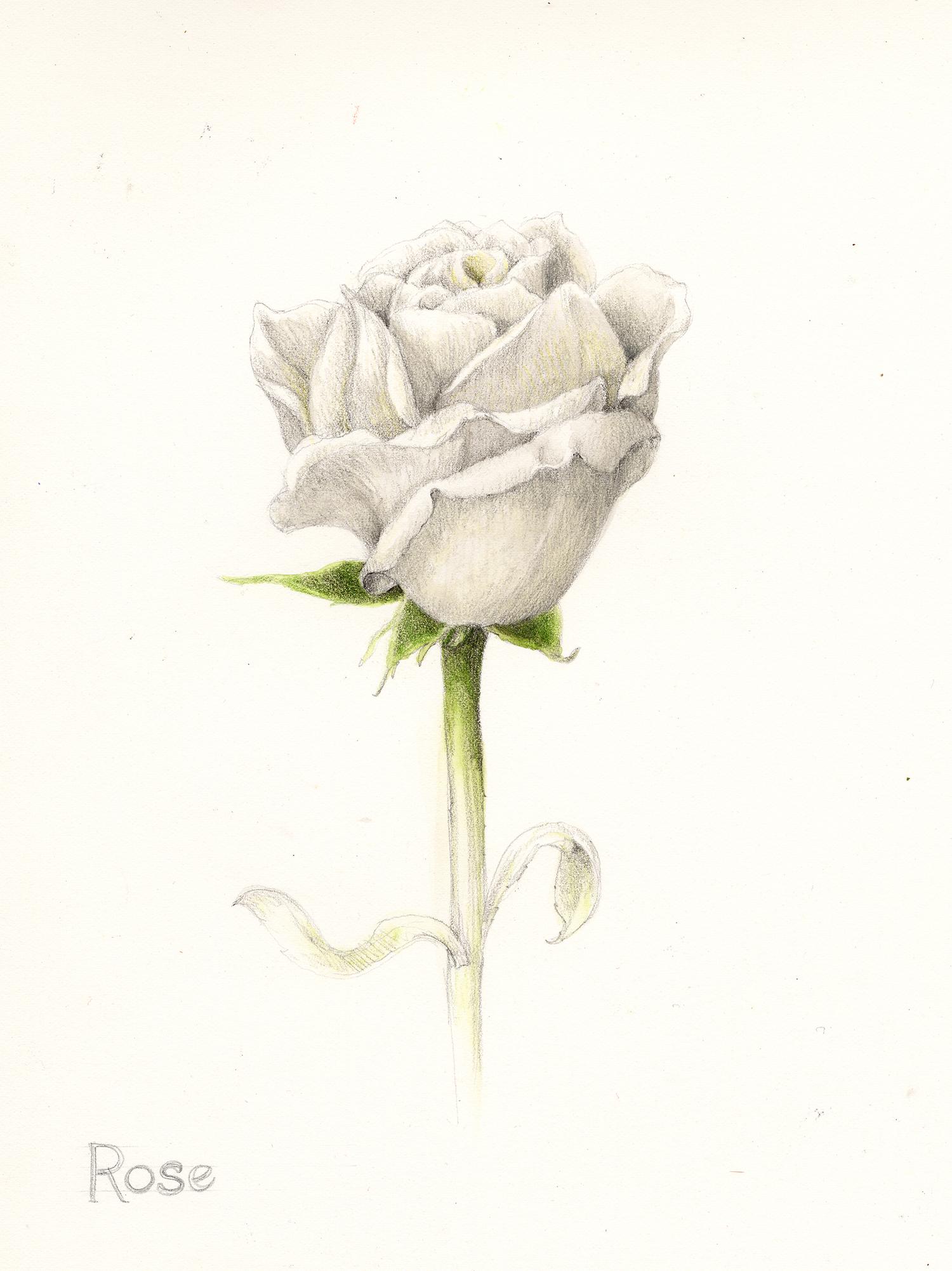 White Rose - Rosa carolina
