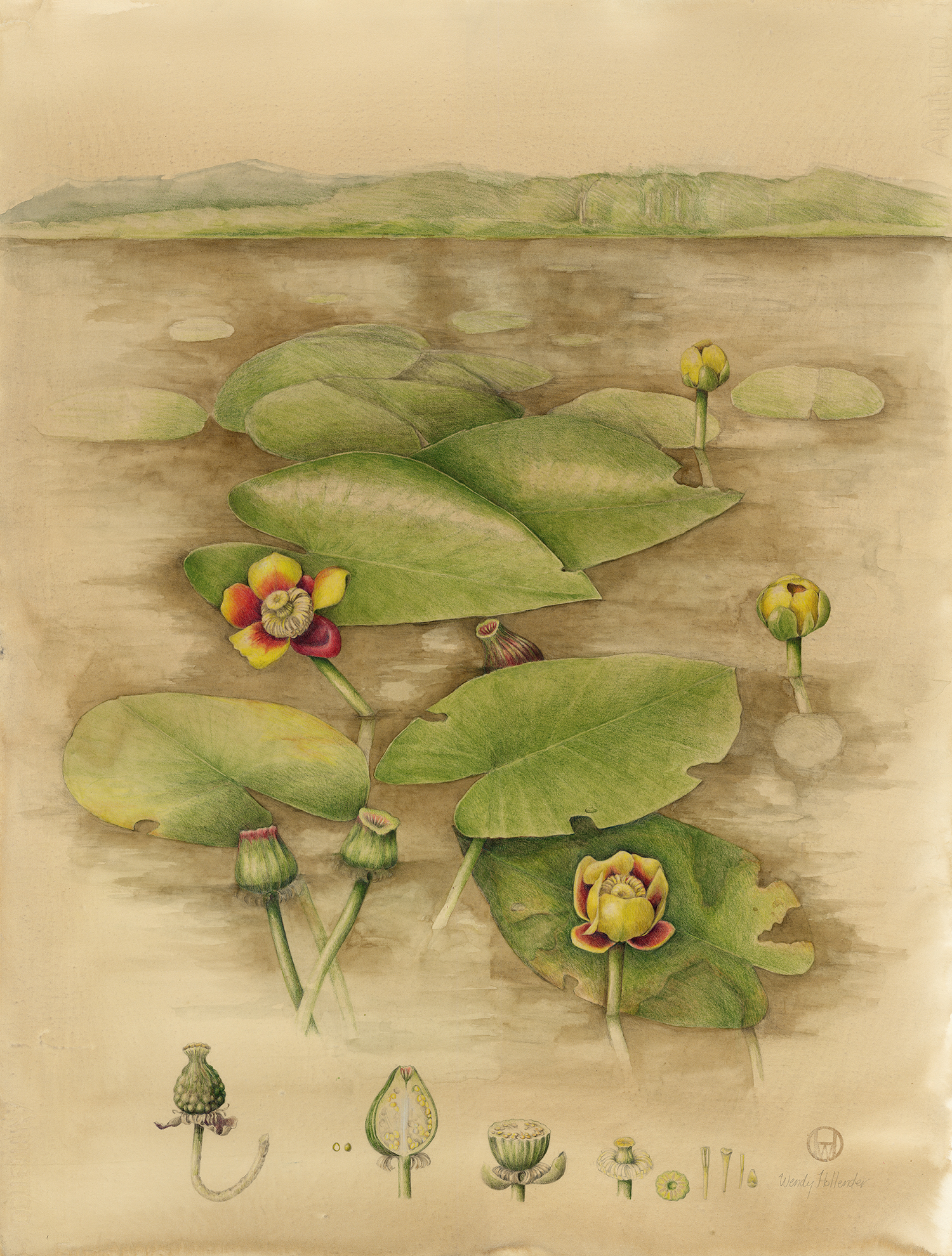 Yellow Water Lily - Nuphar lutea