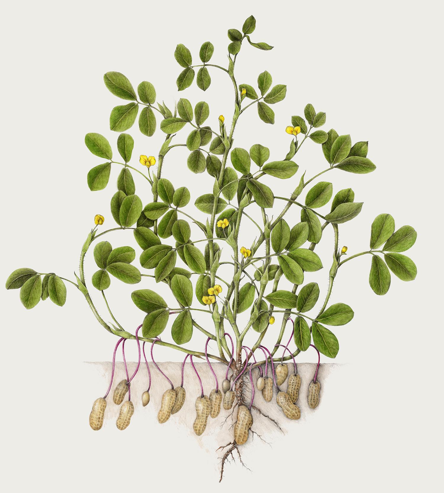Peanut - Arachis hypogaea