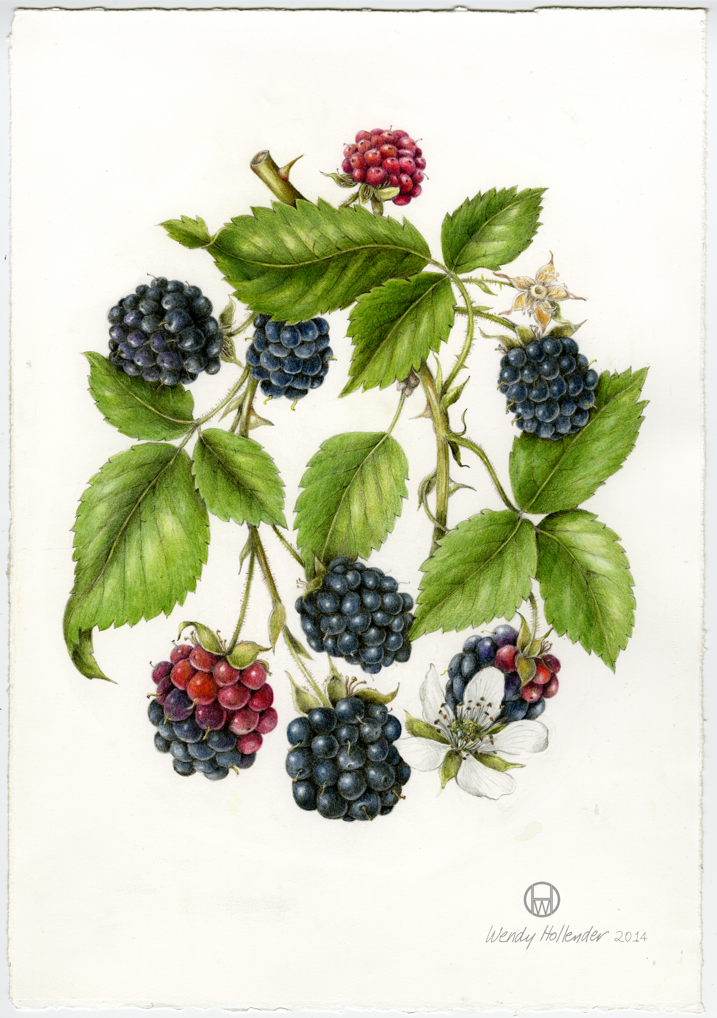 Bramble & Vine: Orignal Illustration of Black Raspberry