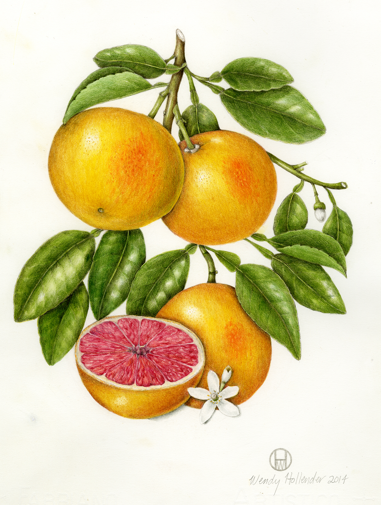 Bramble & Vine: Original Illustration of Grapefruit