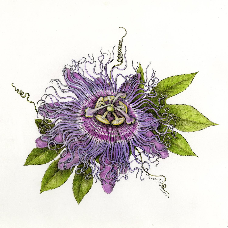 Passion flower - Passiflora incarnata