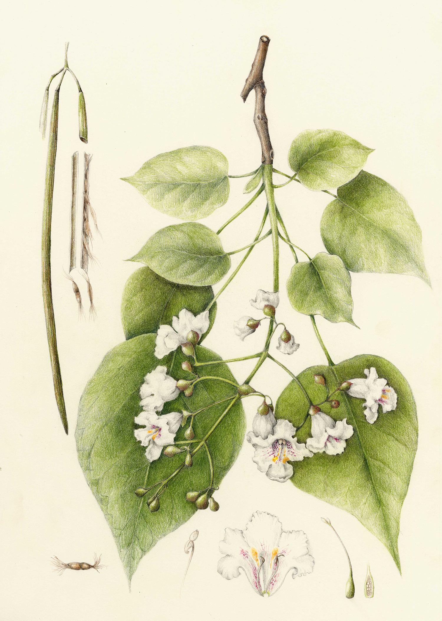 Catalpa Tree - Catalpa speciosa