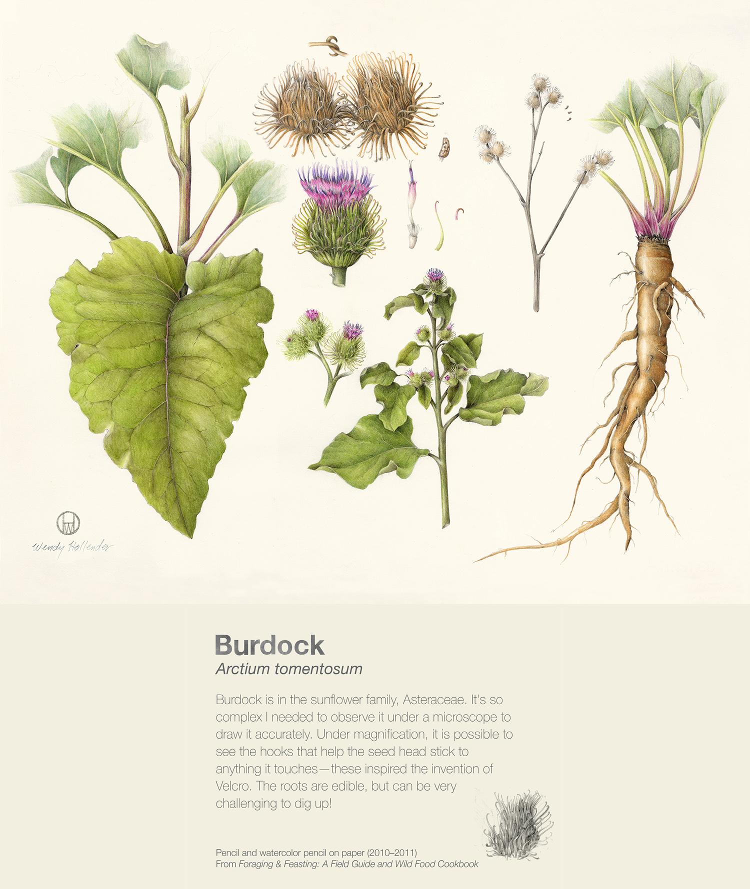 Burdock - Arctium tomentosum