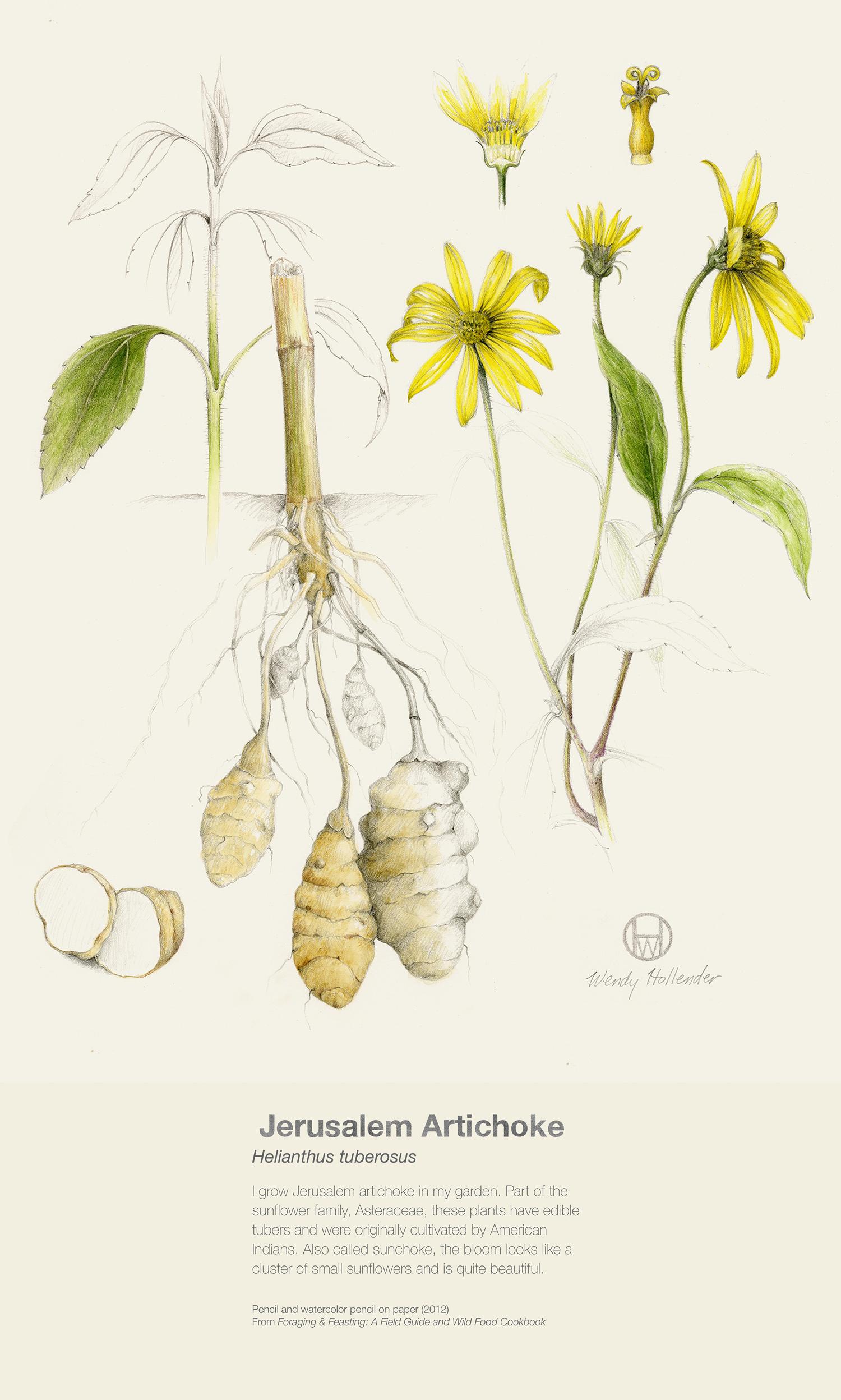 Jerusalem Artichoke - Helianthus tuberosus