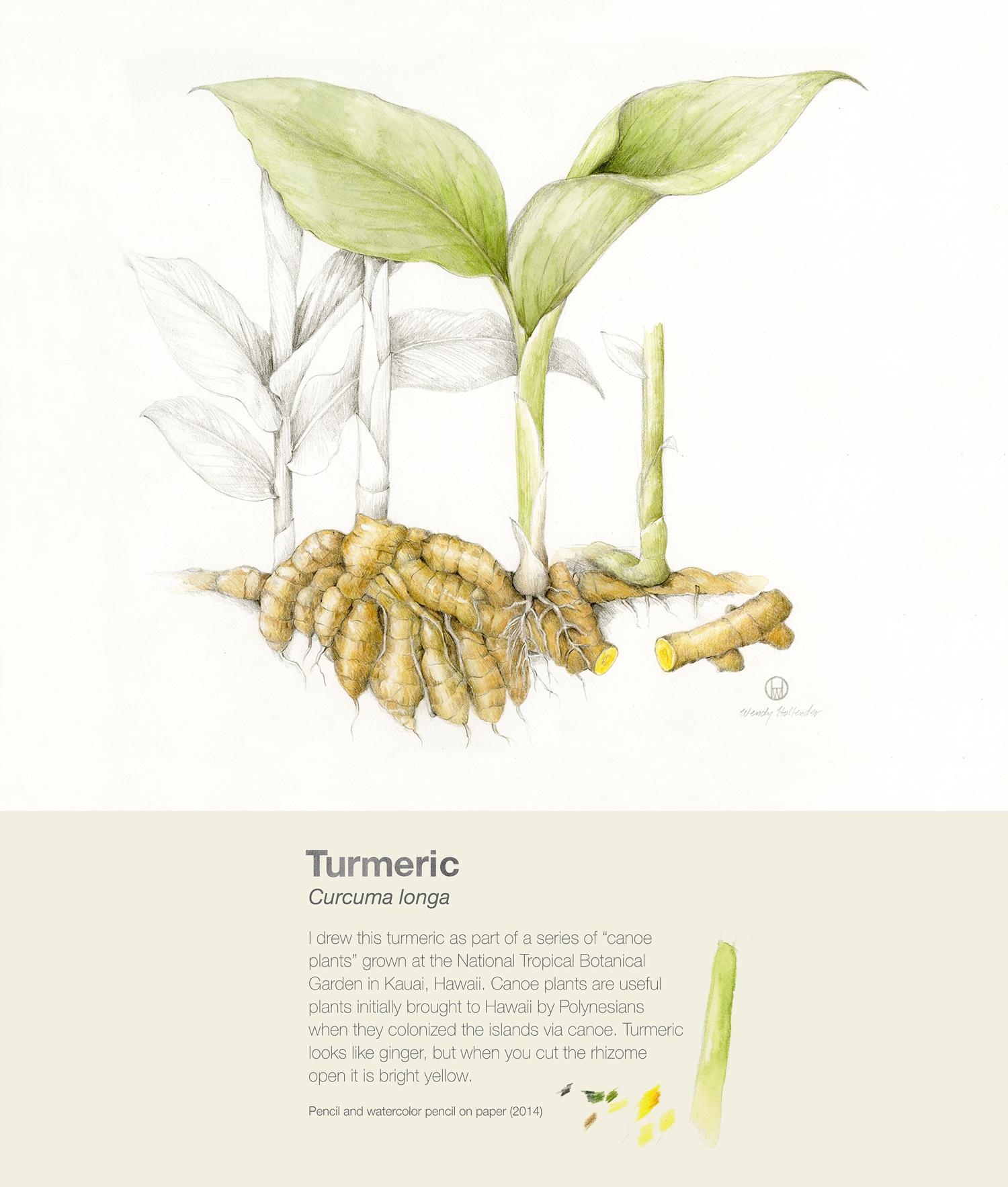 Turmeric - Curcuma longa