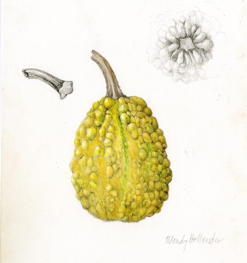 Gourd - Cucurbita
