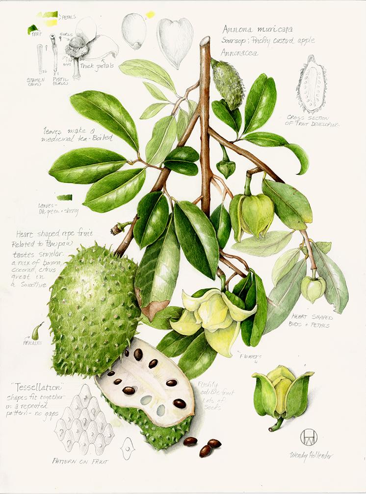 Soursop - Annona muricata