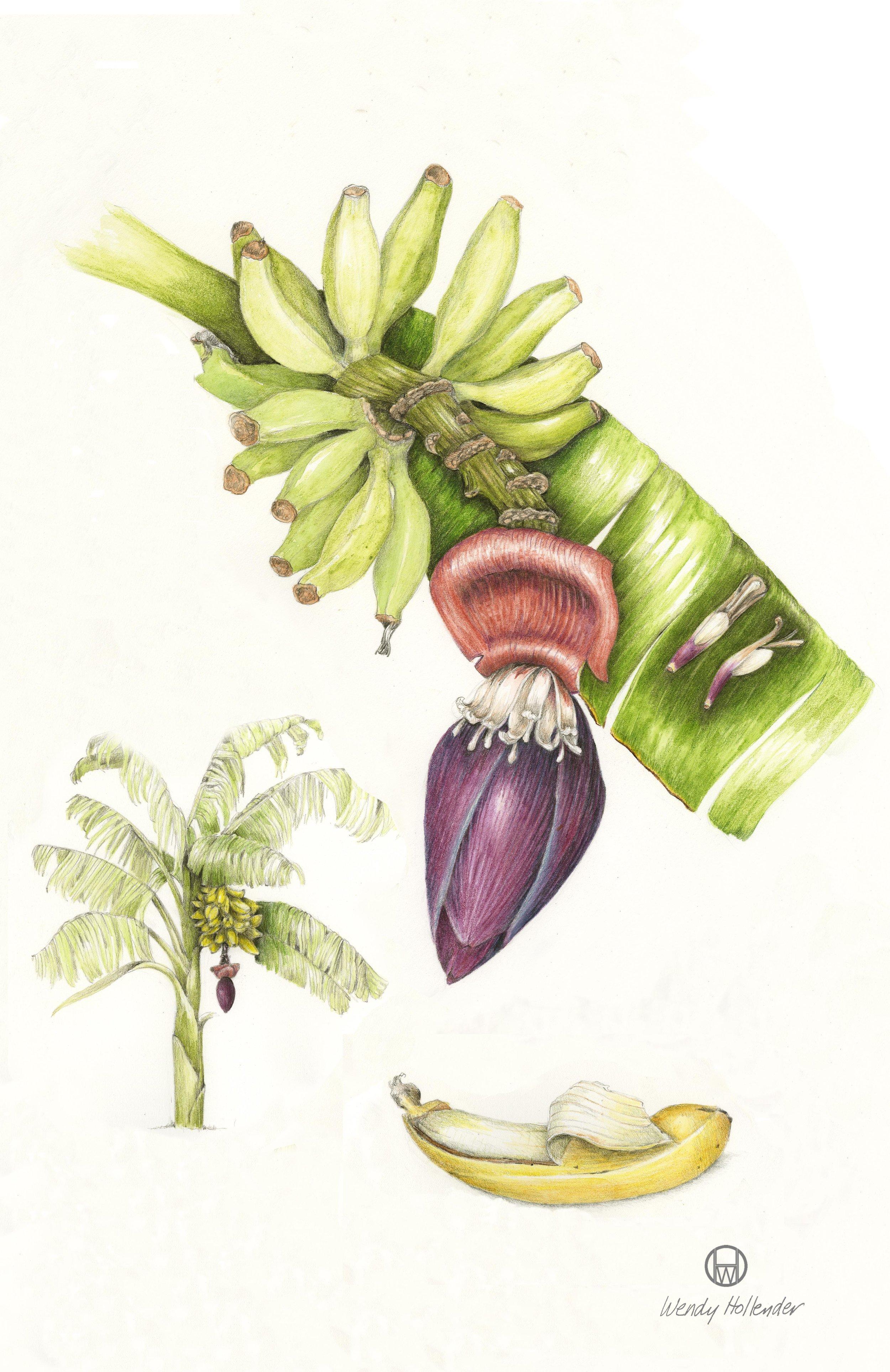 Banana - Musa acuminata