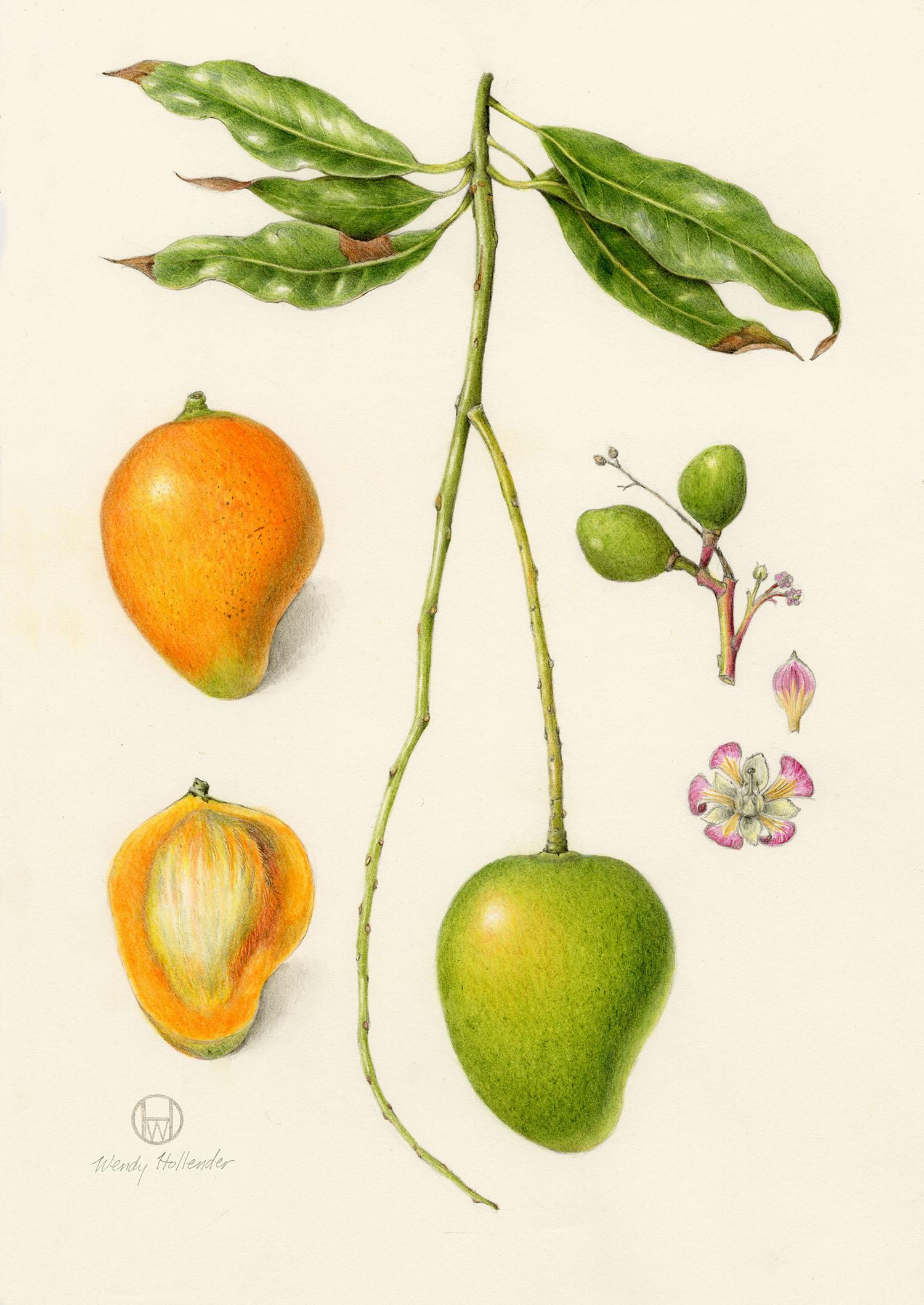 Mango - Mangifera indica