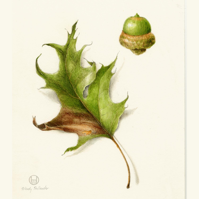 Oak acorn & leaf- Quercus