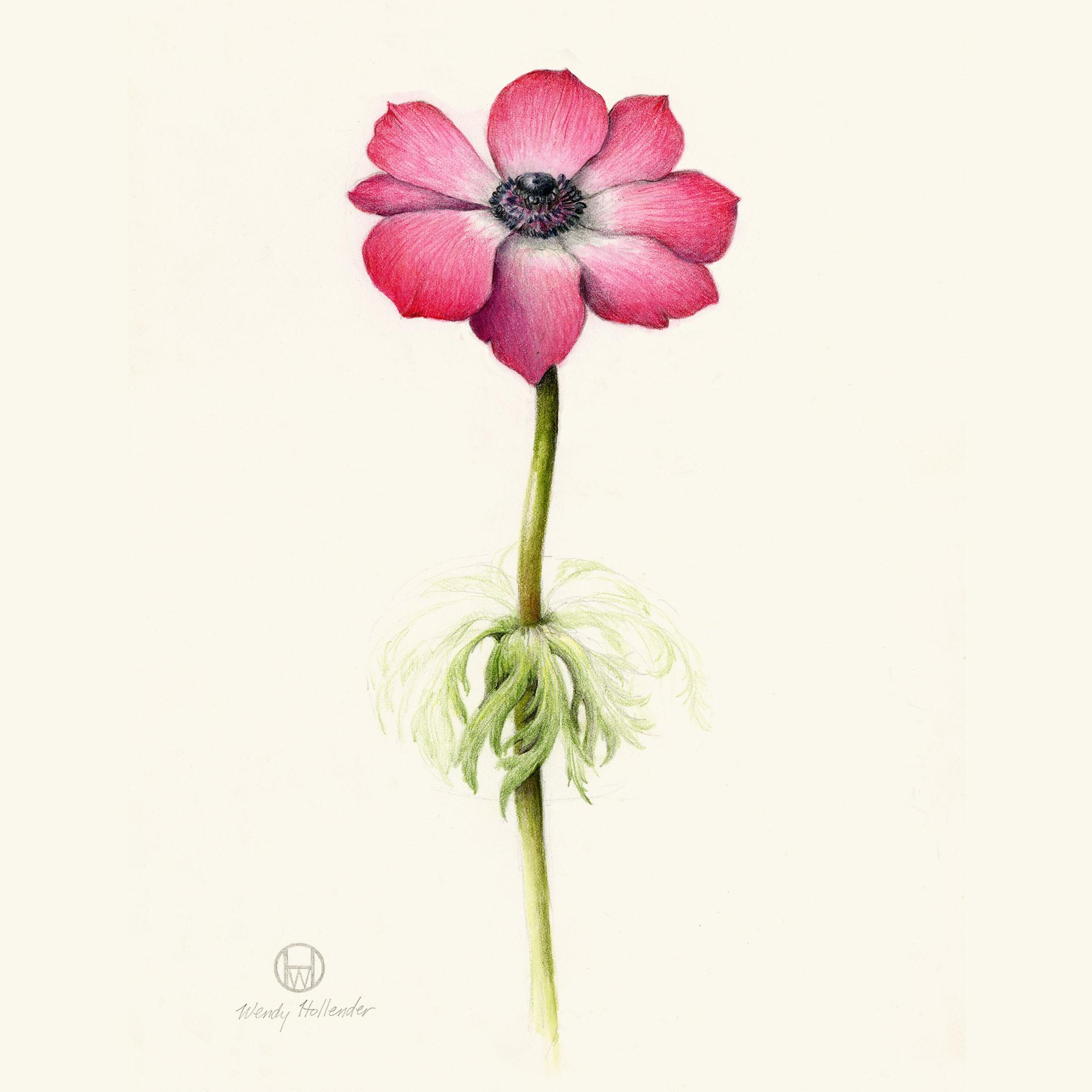 Anemone - Anemone nemorosa