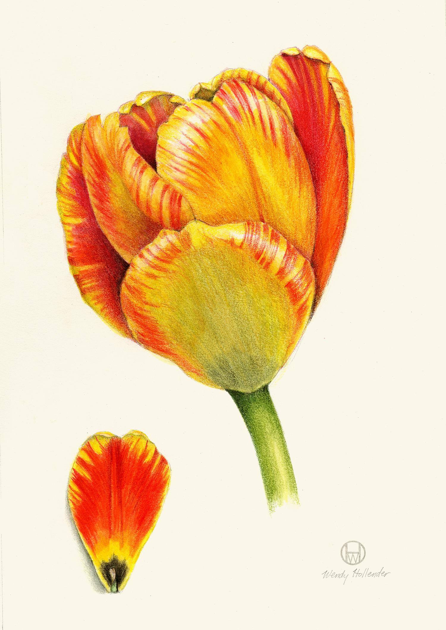 Yellow Red Tulip - Tulipa