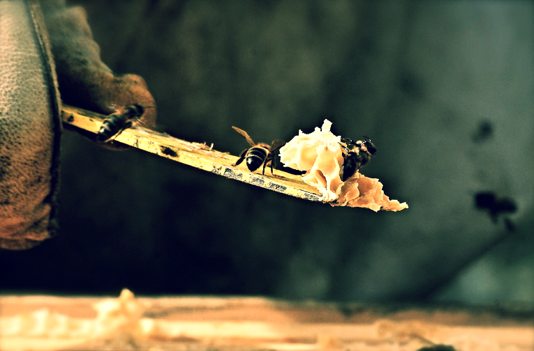 Bees on hive tool
