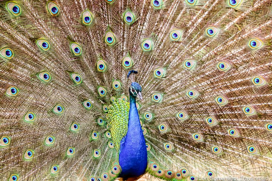 peacock, Podere Il Casale, Pienza, Tuscany, Italy