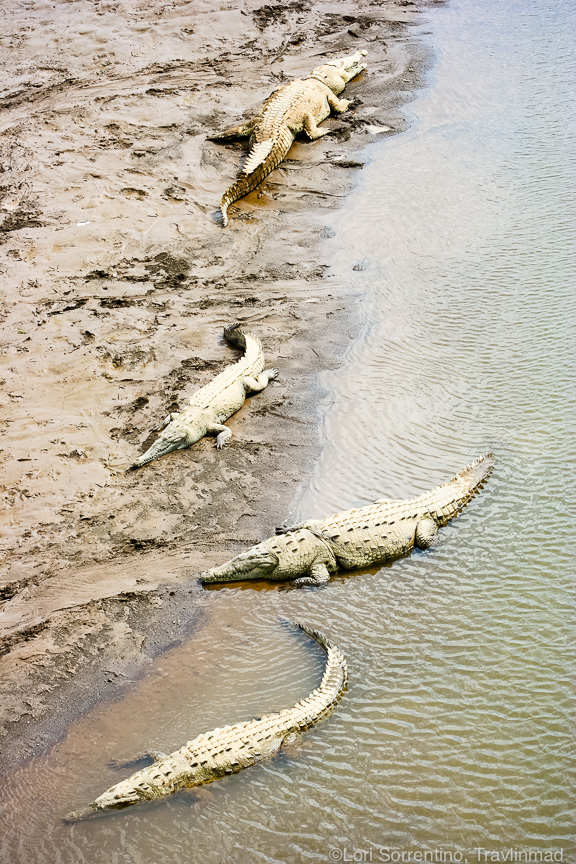 It's hard to imagine the enormity of these giant saltwater crocodiles! I took this pic with a zoom lens from the bridge above Rio Tarcoles, a few hundred yards away!