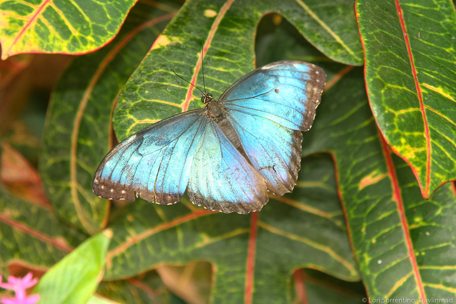 Blue Morpho butterfly at the Key West Butterfly Emporium, Key West, Florida