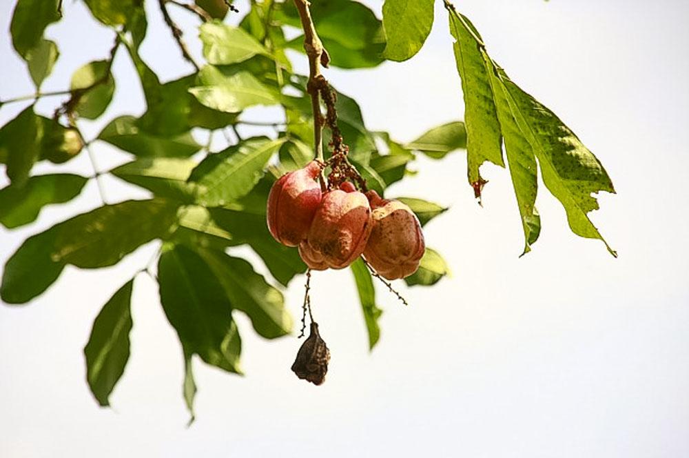 Jamaica ackee fruit on the tree