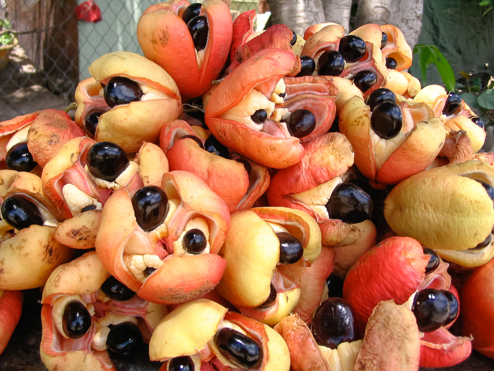 Jamaican ackee fruit when it's ripe