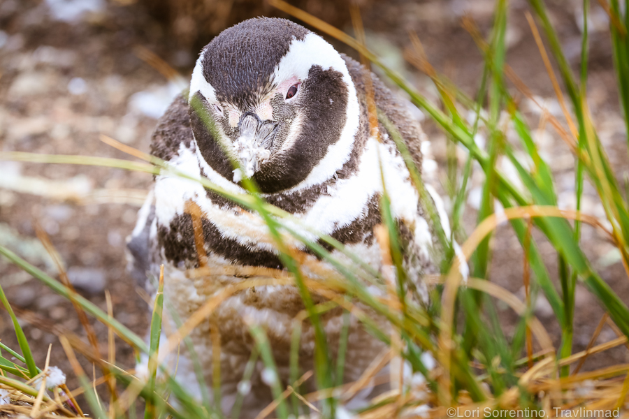 A Magellanic penguins catches some shut-eye