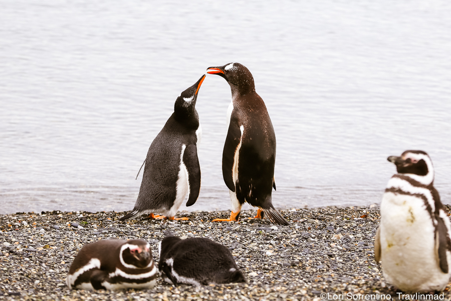 A mother penguin feeds her juvenile