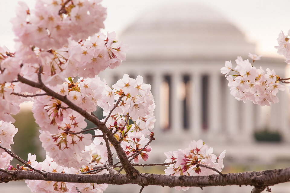Cheery blossoms adorn the Washington Mall in Spring