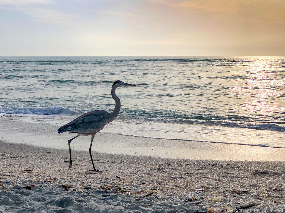 A great blue heron fishing at Blind Pass beach