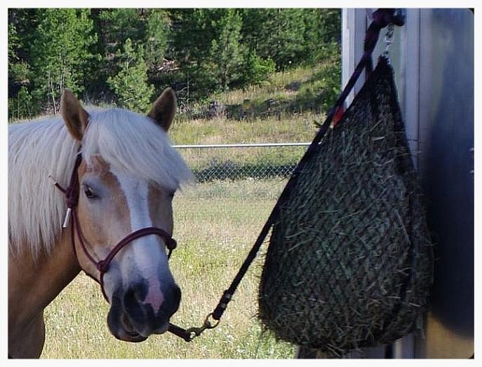 major eating from hay net.jpg