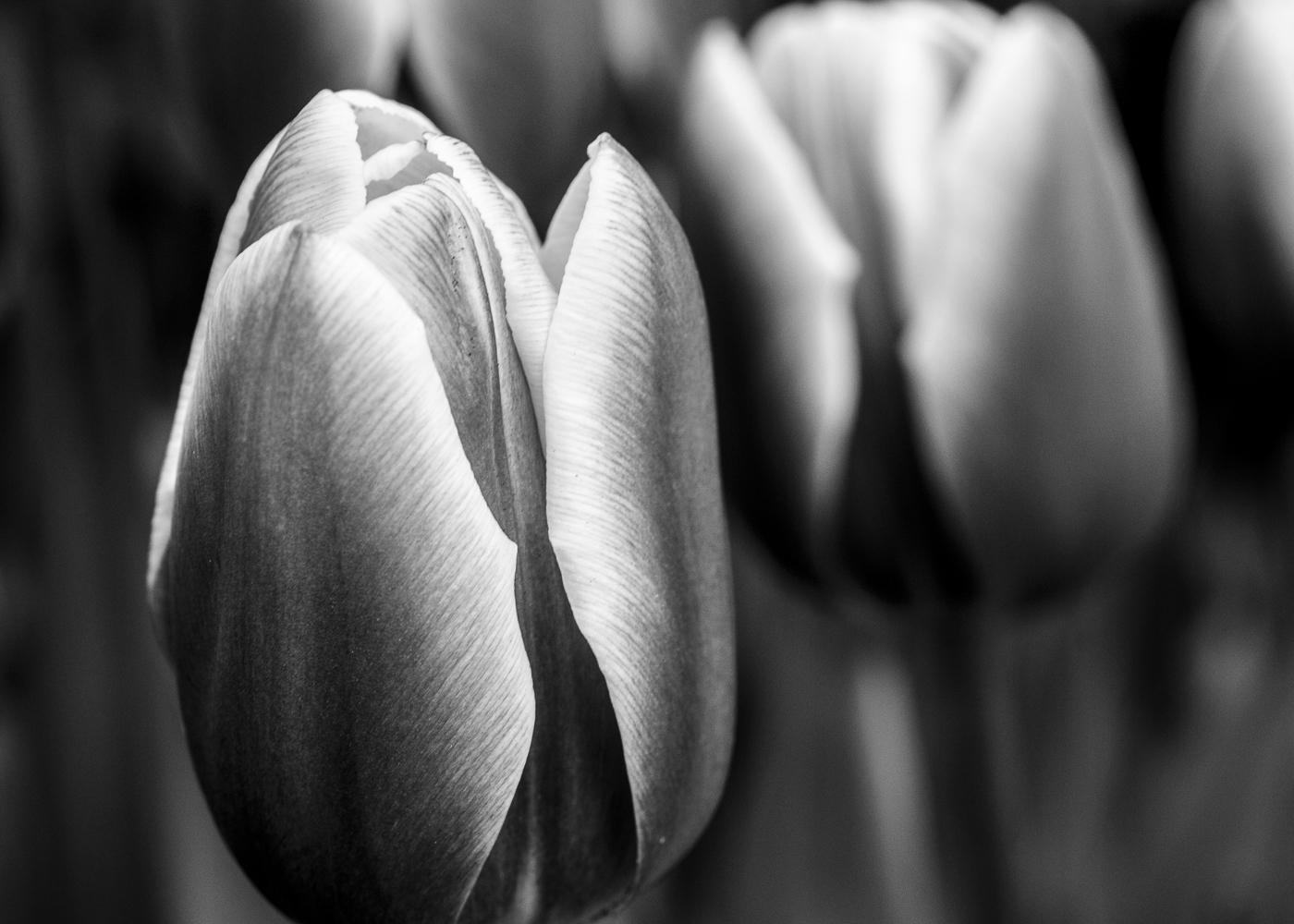 Tulip # 1