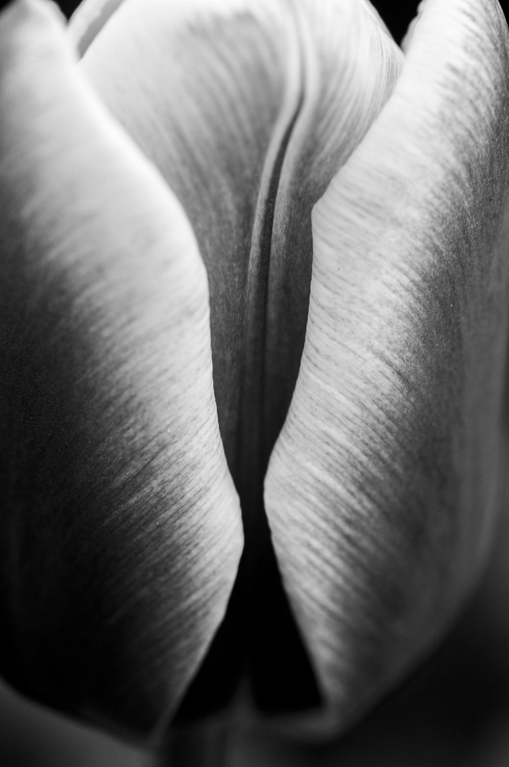 Tulip # 7