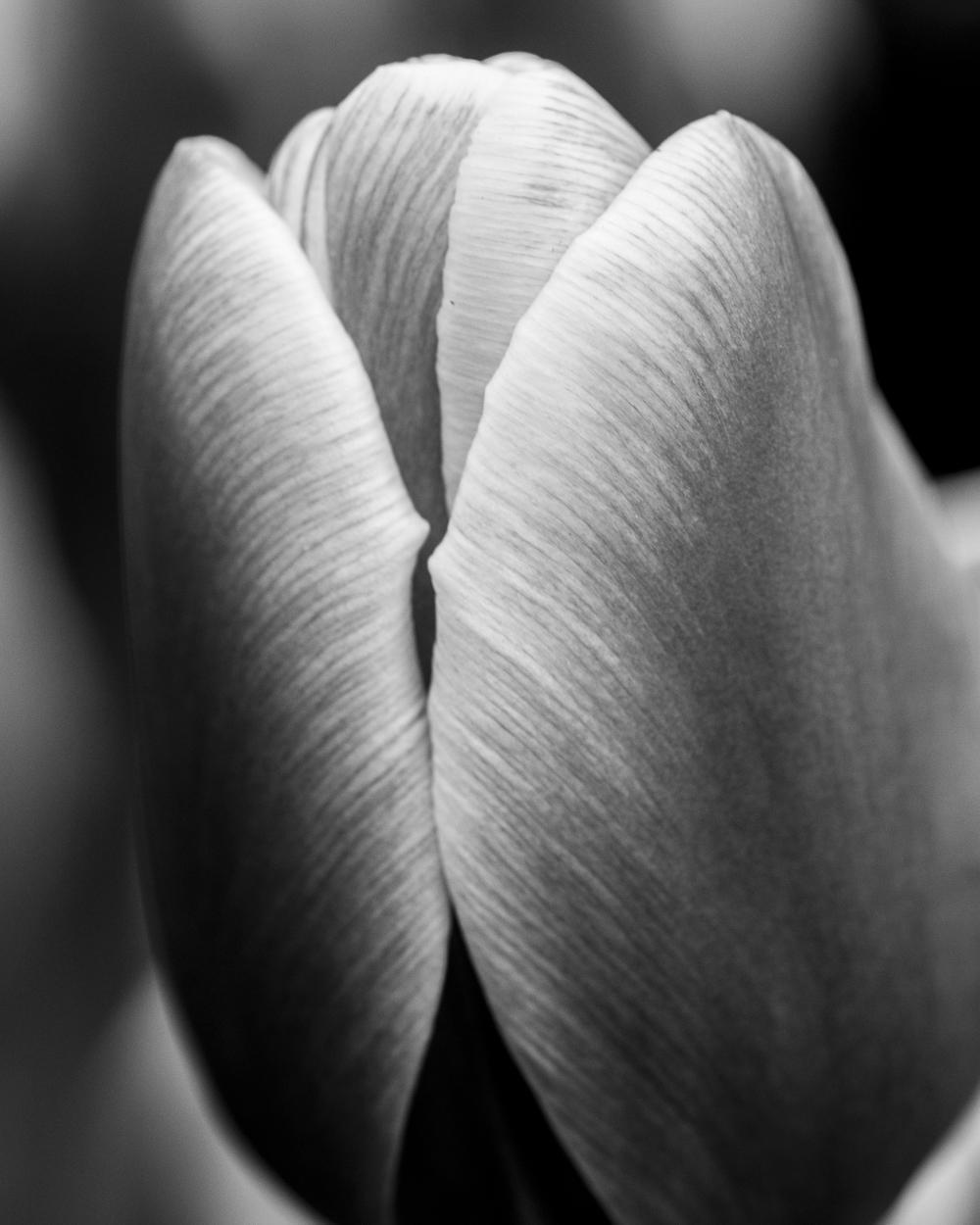 Tulip # 8