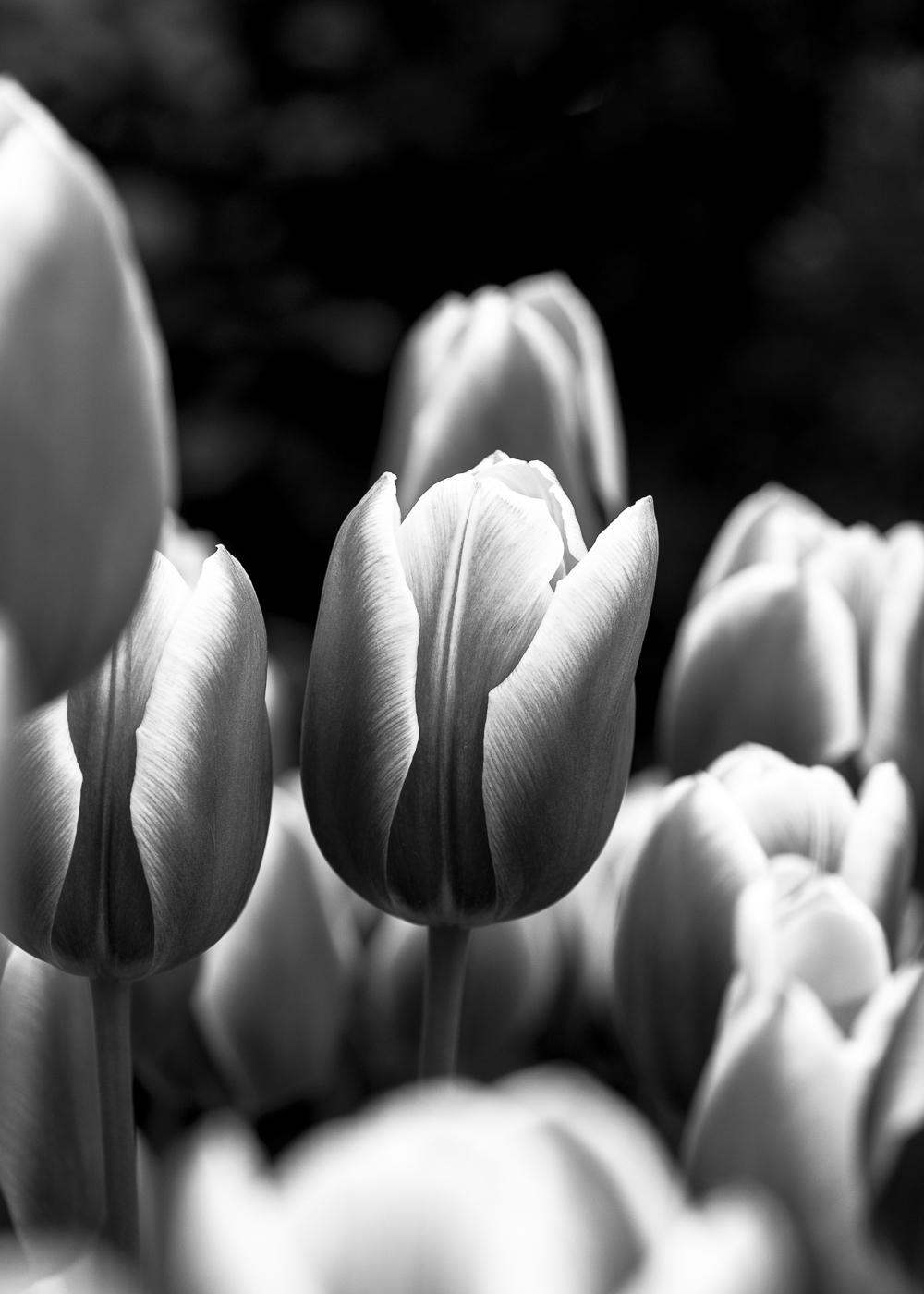 Tulip # 12