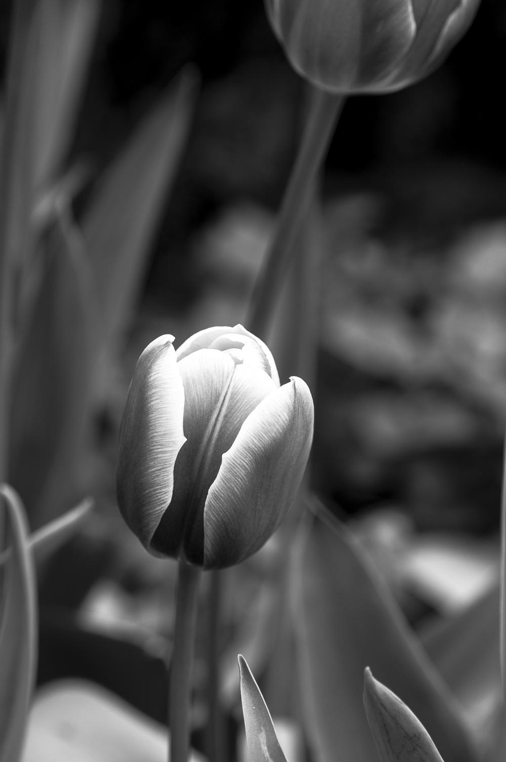 Tulip # 23