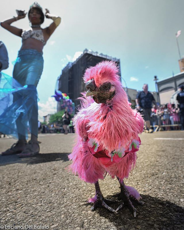 Lady Gaga - the #mermaidparade chicken. In a #parade full of people dressed to call attention, I looked for some unique in a place full of unique people. This is one of those unique individuals. . . . #gettyreportage  #shared_streetlife_moments #aspstreetphotography #friendsinprofile #streetfinder #toprepostme #life_framer #thestreetphotographyhub  #challengerstreets #thesestreetsmag #gf_streets #life_is_street #street_avengers #streetphotodiary #ig_street #streets_storytelling #burnmyeye  #eyeshot_magazine  #fromstreetswithlove #eyeshotmag  #dreaminstreets #streetlife_award #mcl_streets #shared_streets #timeless_streets #Storyofthestreet #fromstreetswithlove #rawstreetphotogallery #storyofthestreets