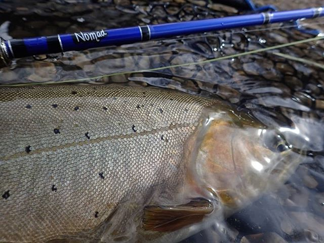 Can anyone tell me what species of trout this is?  #trout #rowanflyfishing #woodhandlerevolution #guidelife #guideservice #flyfishing #flyfish #flyrod #fishing #flyfishingnation #fishingtrip