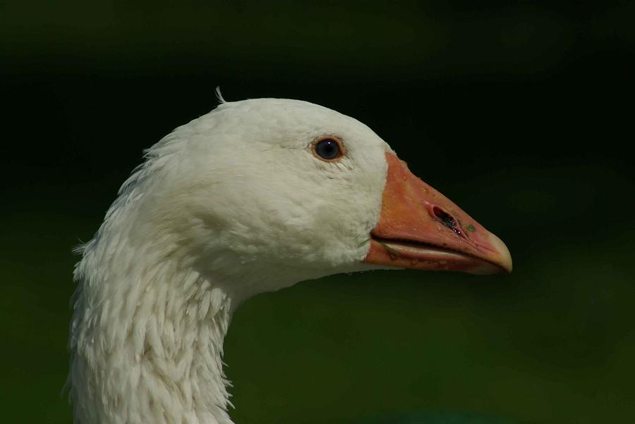 Emden Goose #2