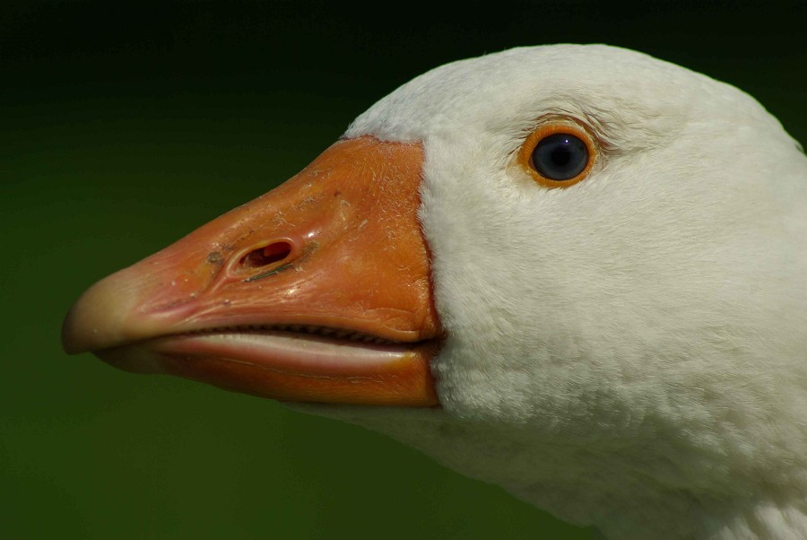 Emden Goose #1