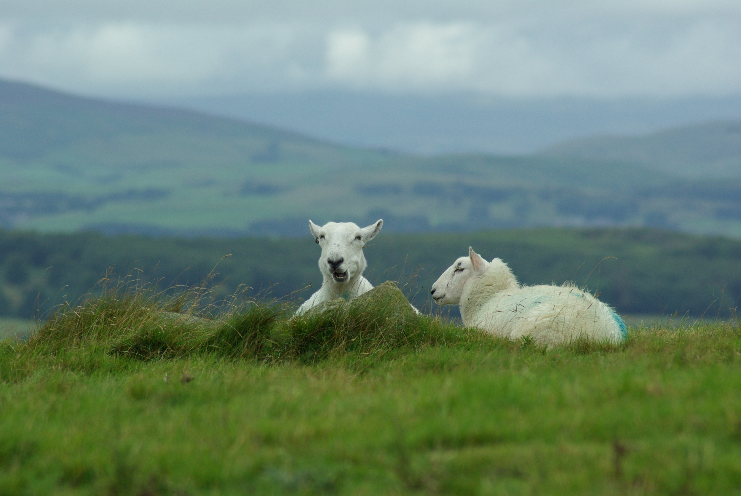 Two Sheep Chewing The Cud