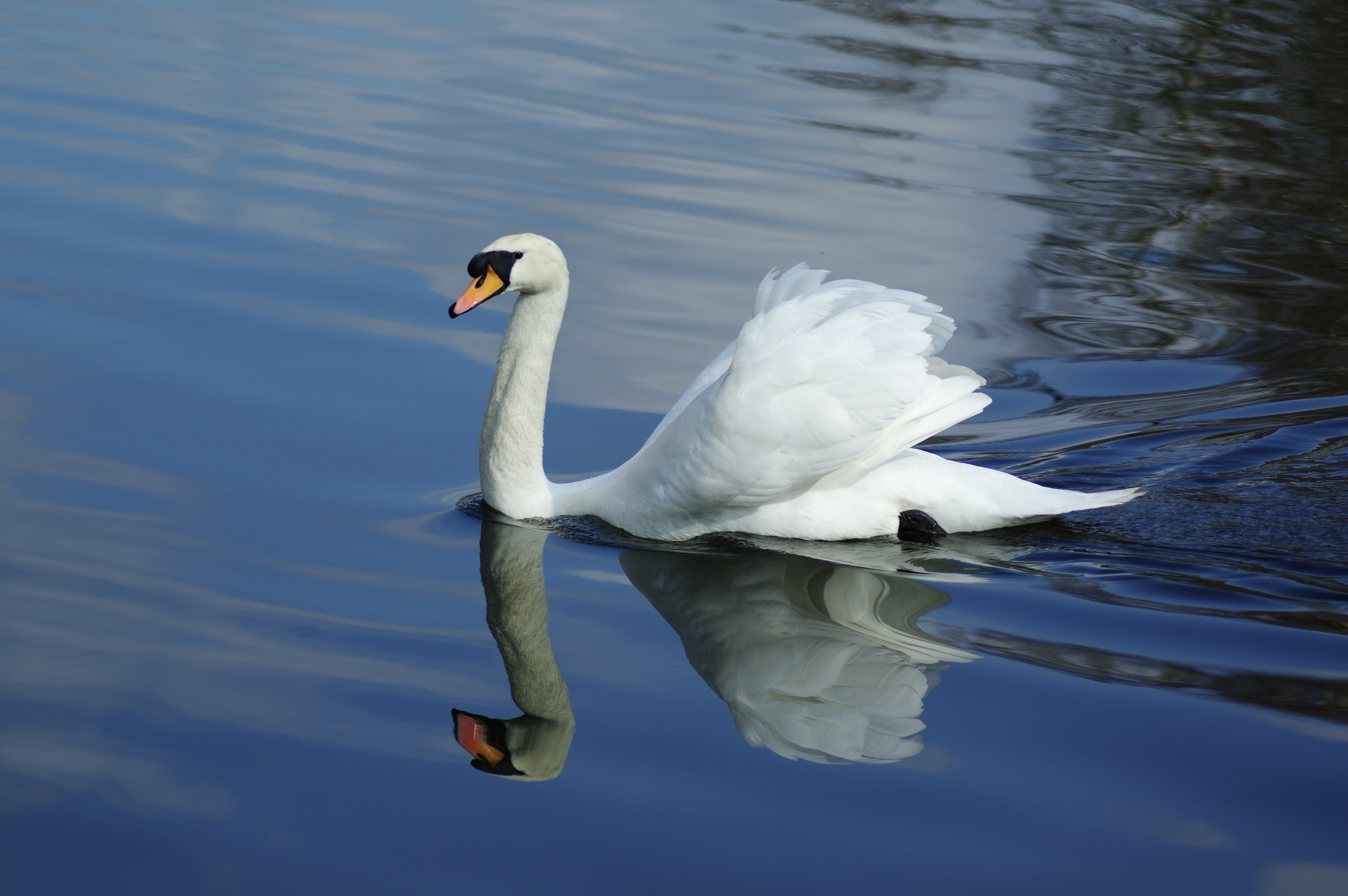 Majestic Mute Swan and Reflection #3