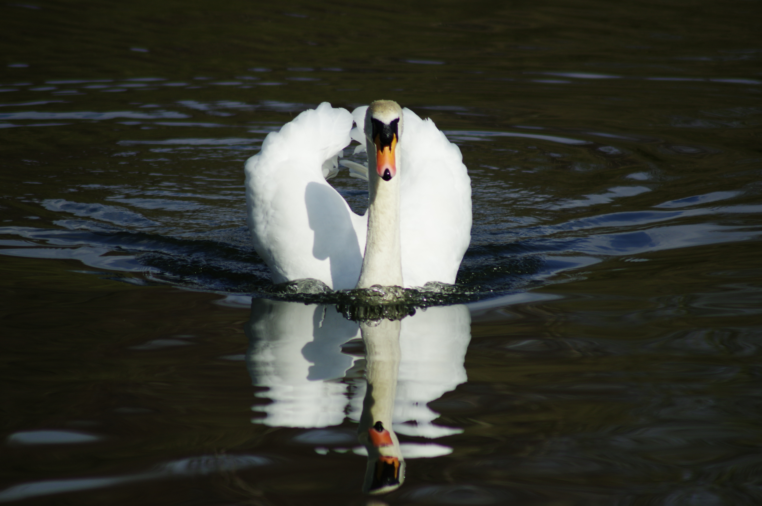 Majestic Mute Swan and Reflection #4
