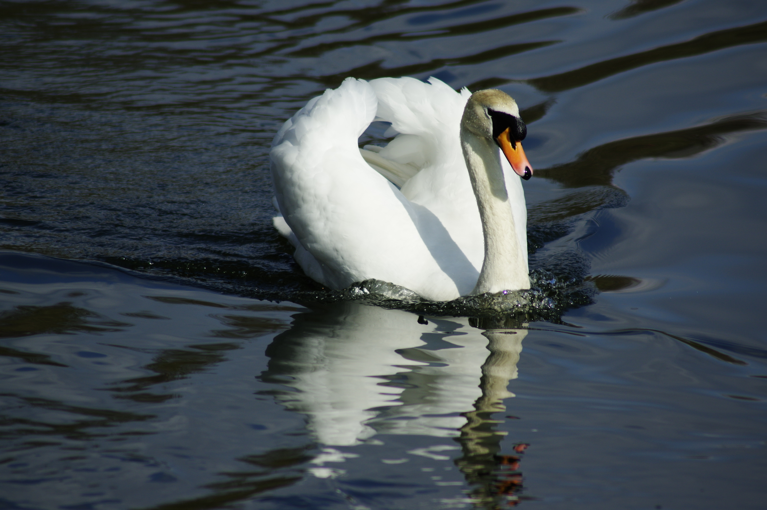 Majestic Mute Swan and Reflection #1