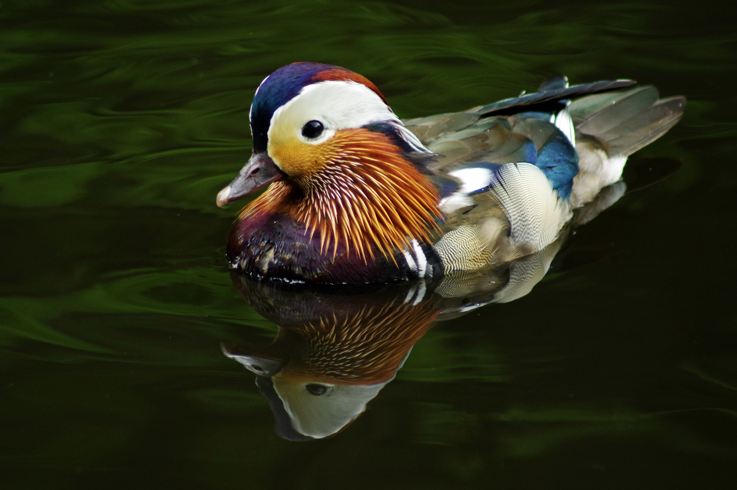 Mandarin Duck and Reflection #1