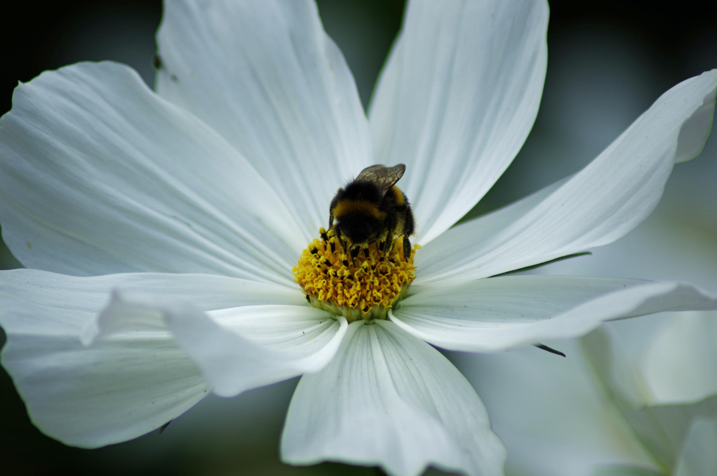 Bumble Bee and Peony