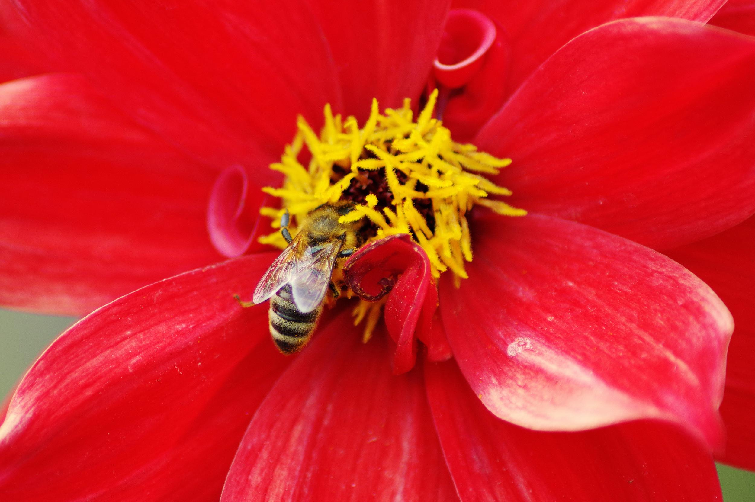 Honey Bee and Achillea