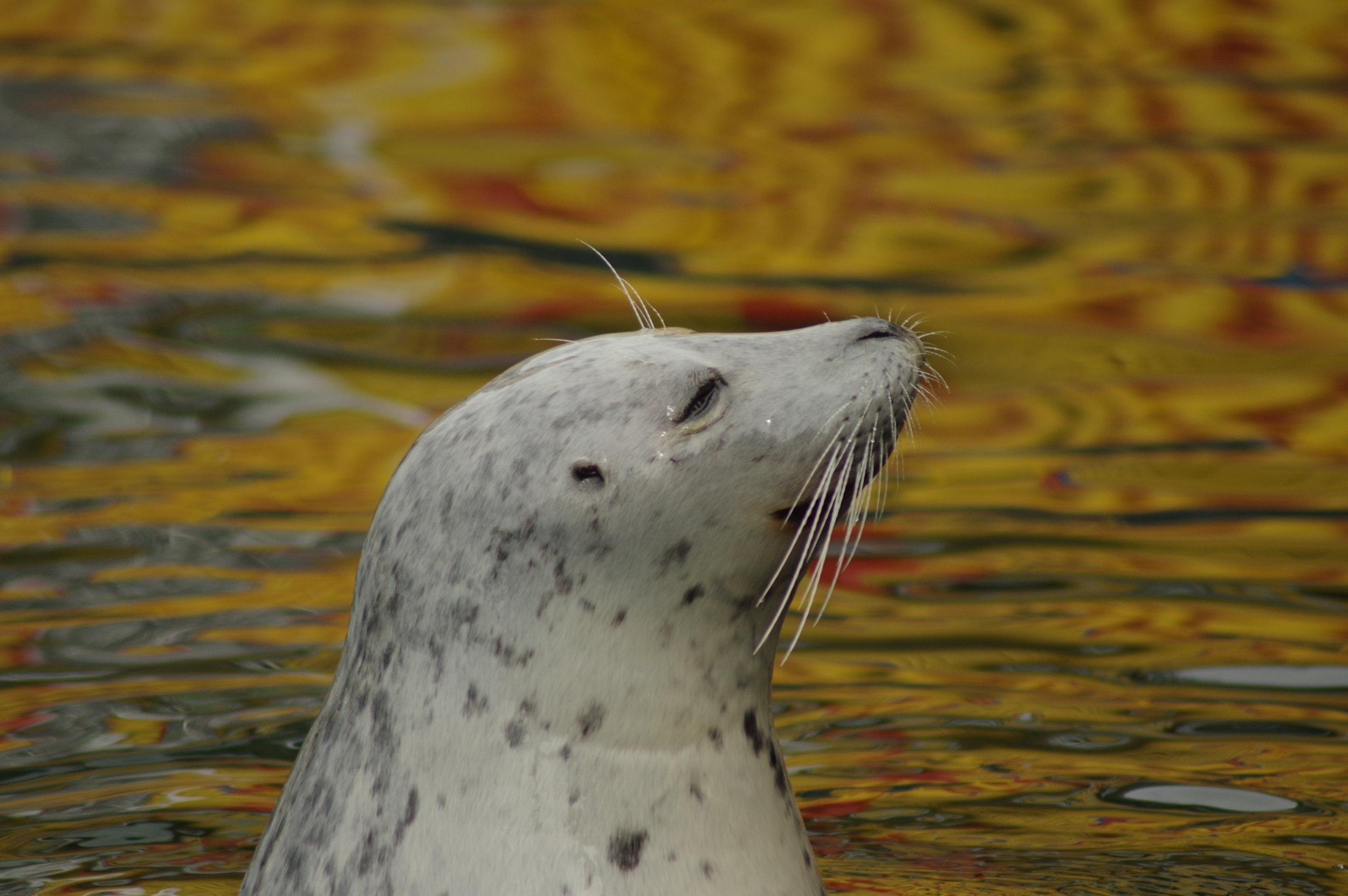 Grey Seal #4