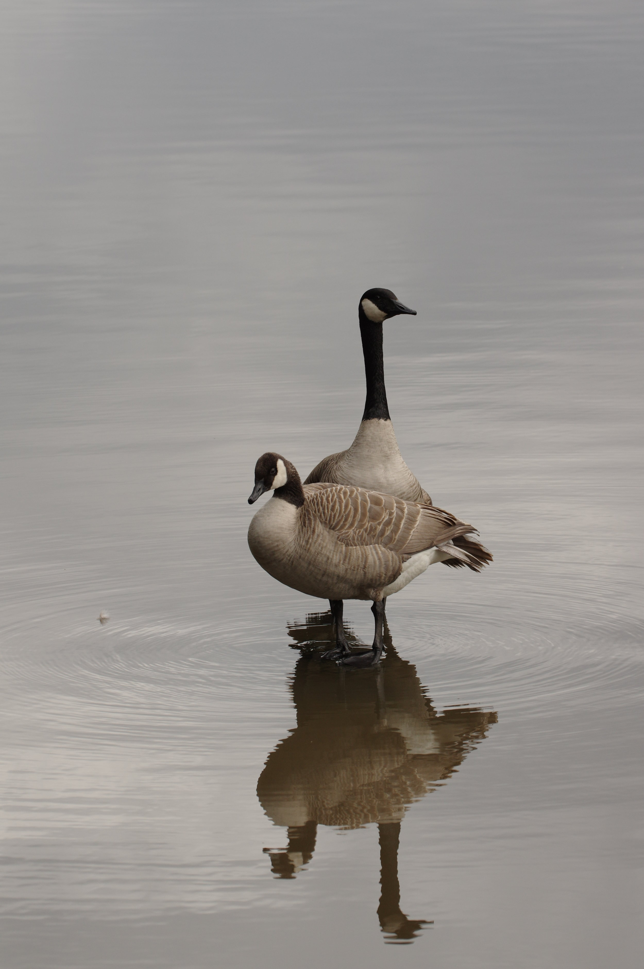 Canada Goose Reflection