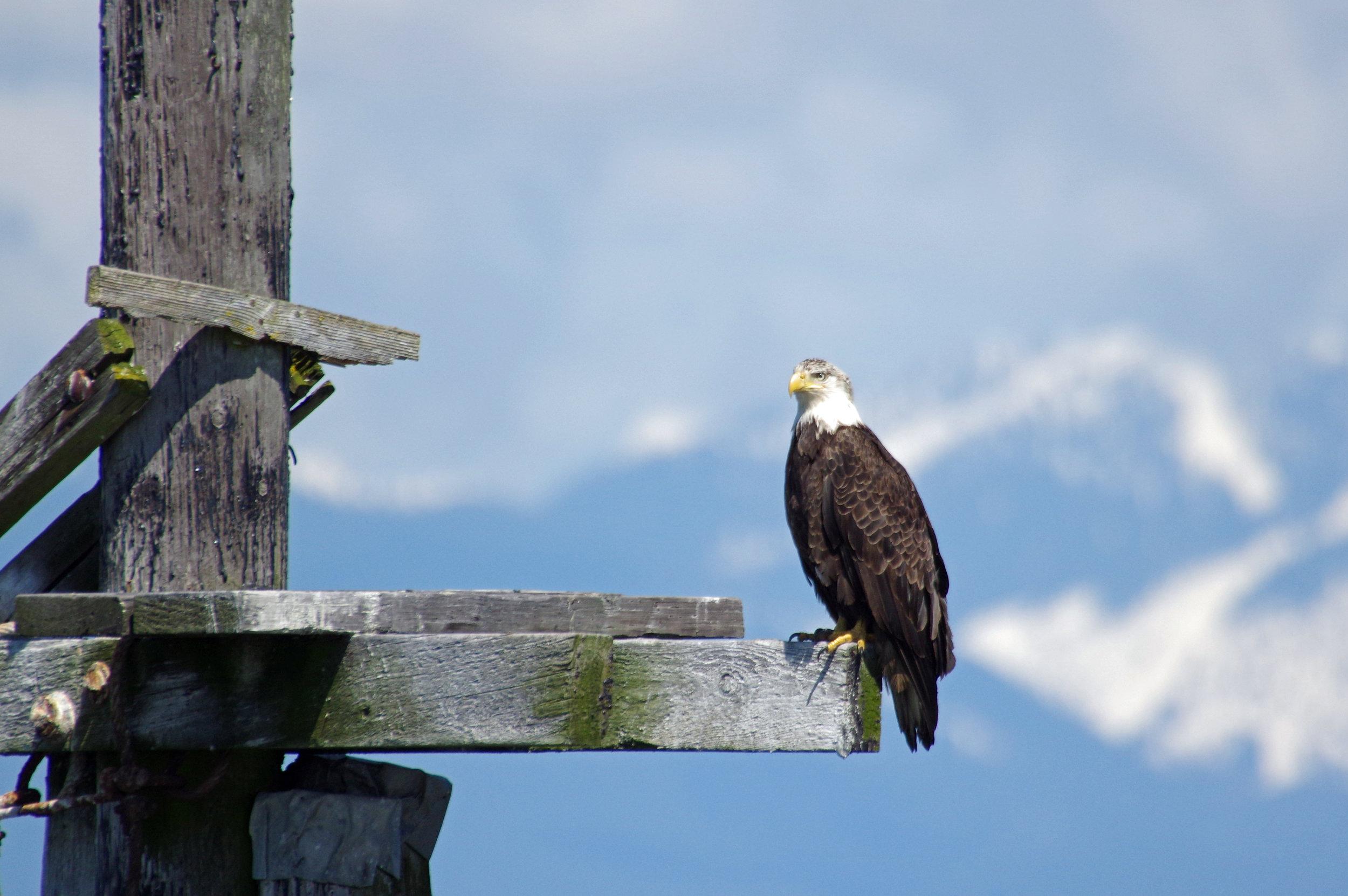 Bald Eagle #1