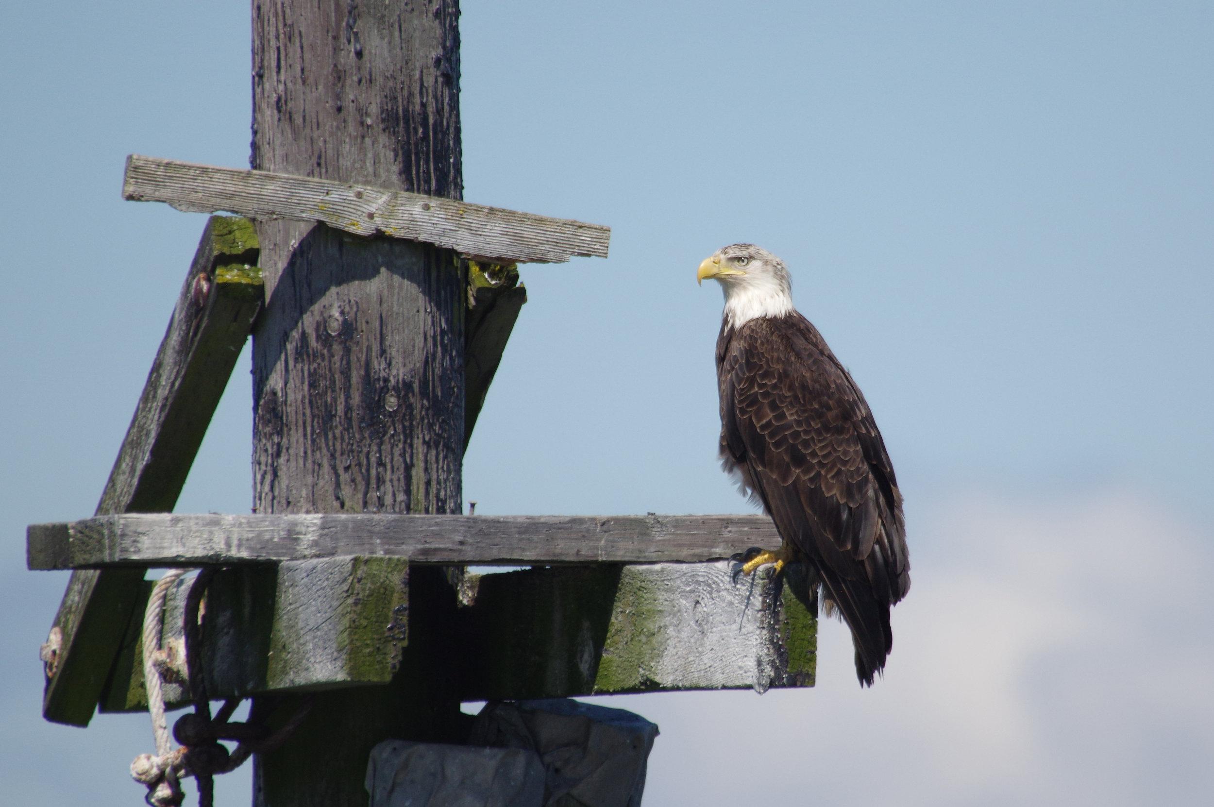 Bald Eagle #3